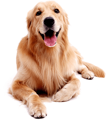 Golden Retriever - Allied Veterinary Cremation in Manheim, PA